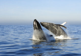 Whale Watching, Ocean Odyssey, Knysna