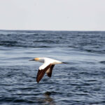 A Cape gannet flying past a large, smooth whale's footprint.