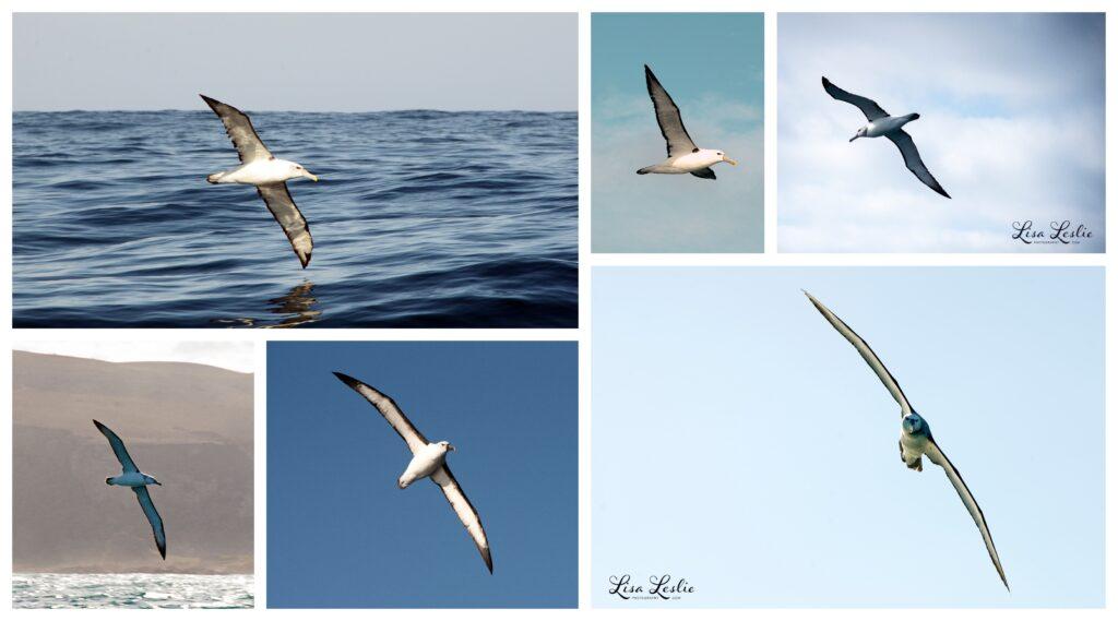 shy albatross, yellow-billed albatross and the black-browed albatross.