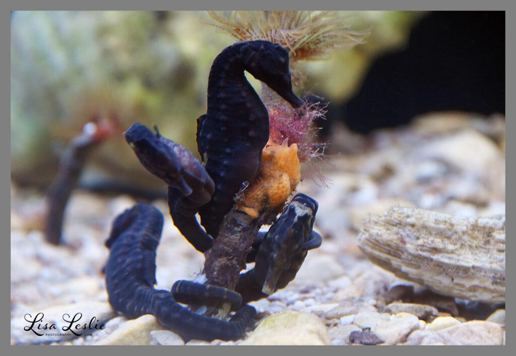 Knysna seahorses