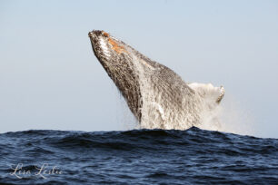 Why Exactly do Whales Breach?