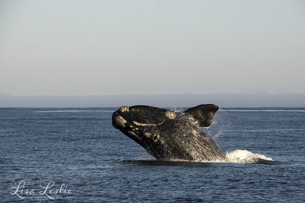 Southern right whale breaching, Knysna